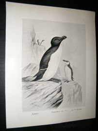 Frohawk 1898 Antique Bird Print. Razor Bill